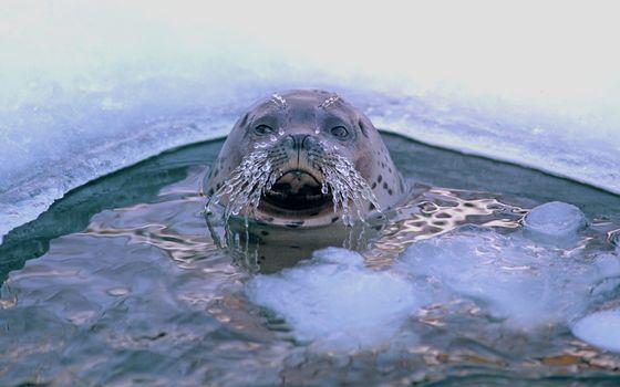 Заставки тюлень,прорубь,усы,лед,морские животные,животные