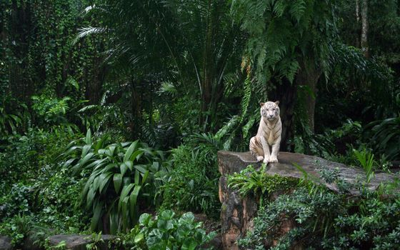 Photo free white tiger, thicket, tropical forest