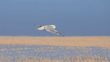 Photo free owl, wings, gray