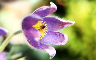 Бесплатные фото лепестки,фиолетовые,стебель,зеленый,пестики,тычинки,цветы