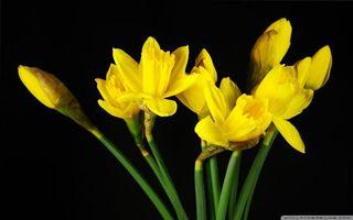 Бесплатные фото лепестки,желтые,бутоны,стебли,зеленые,фон,черный