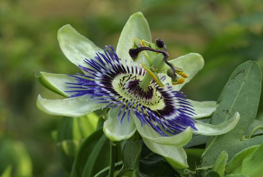 Заставки Passiflora, цветок, флора