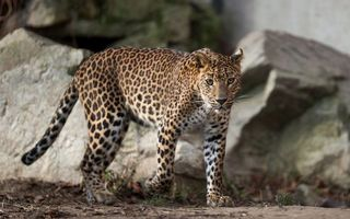 Photo free spotted leopard near the stones, view, predator