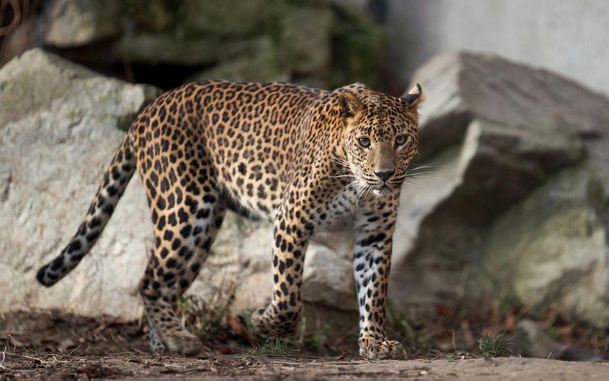 Фото бесплатно пятнистый леопард возле камней, взгляд, хищник - на рабочий стол