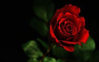 Фото бесплатно роза, красная, листья