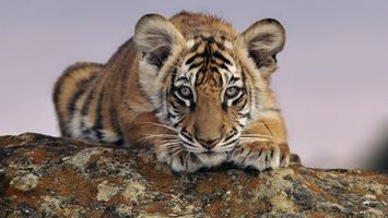 Фото бесплатно тигренок, маленький, уши