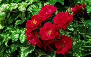 Бесплатные фото цветки,бутоны,красный,алый,цвет,листья,куст