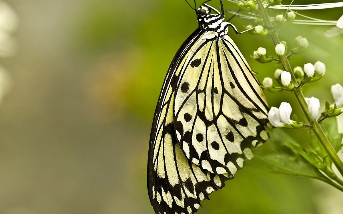 Free photo butterfly, wings, paws - to desktop