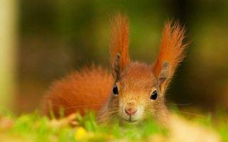 Фото бесплатно белка, зверек, уши