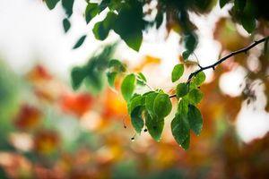 Бесплатные фото береза,ветка,листья,роса,капли,вода,дерево