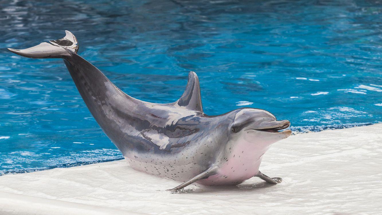 Фото бесплатно дельфин, хвост, вода, голубая, бассейн, плавник, животные, животные