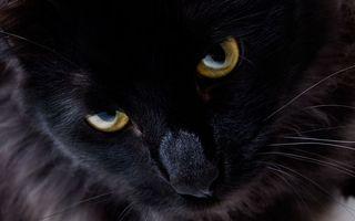 Бесплатные фото кот,черный,глаза,желтые,усы,шерсть,кошки