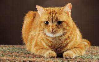 Бесплатные фото кот,рыжий,морда,глаза,лапы,шерсть,усы