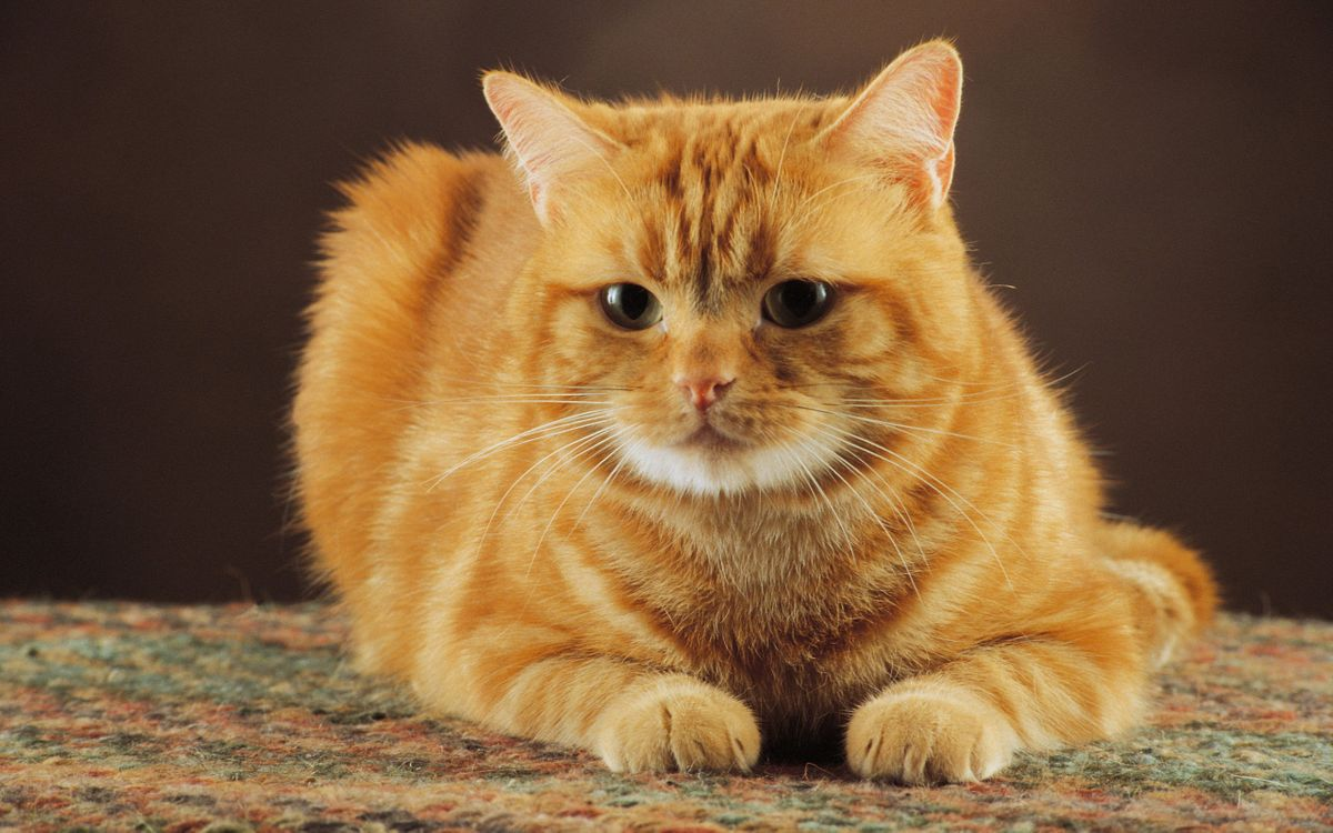 Фото бесплатно кот, рыжий, морда, глаза, лапы, шерсть, усы, кошки, кошки