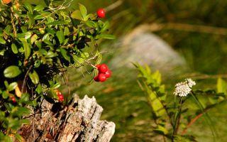 Заставки куст, ягода, трава, фон, фото, зелень, цветок, белый, дерево, пень, листья, ветки