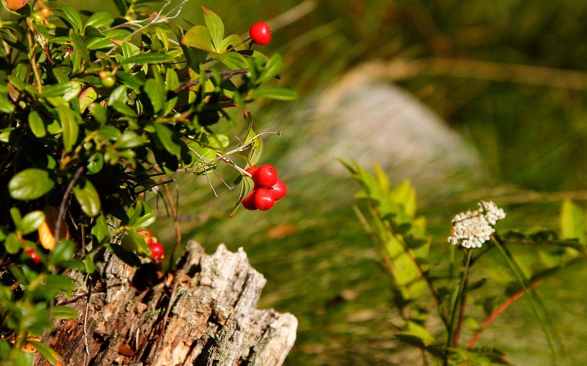 Фото бесплатно куст, ягода, трава, фон, фото, зелень, цветок, белый, дерево, пень, листья, ветки, природа, природа