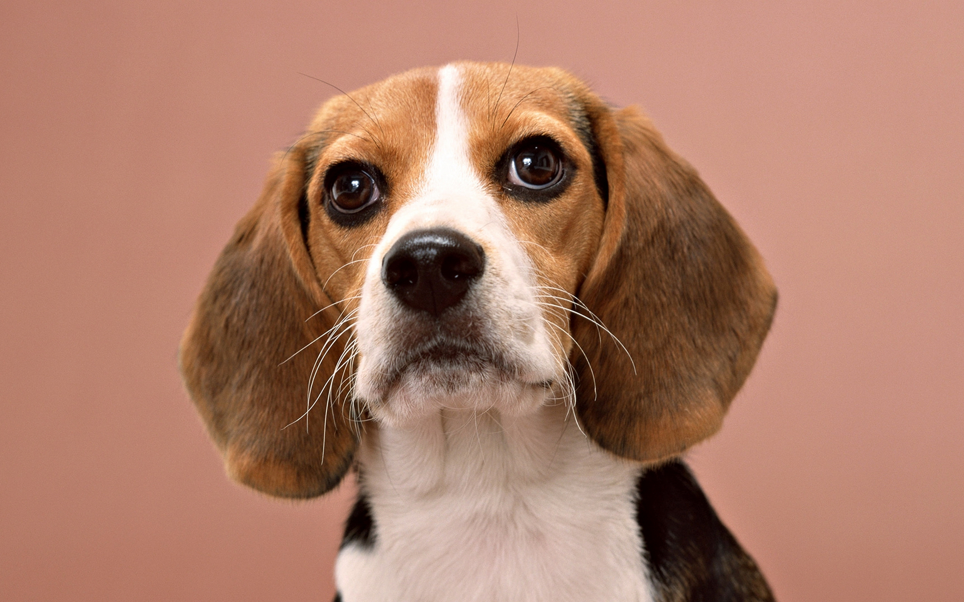 пес, морда, уши