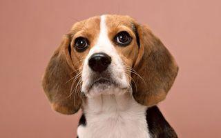 Бесплатные фото пес,морда,уши,глаза,усы,шерсть,собаки