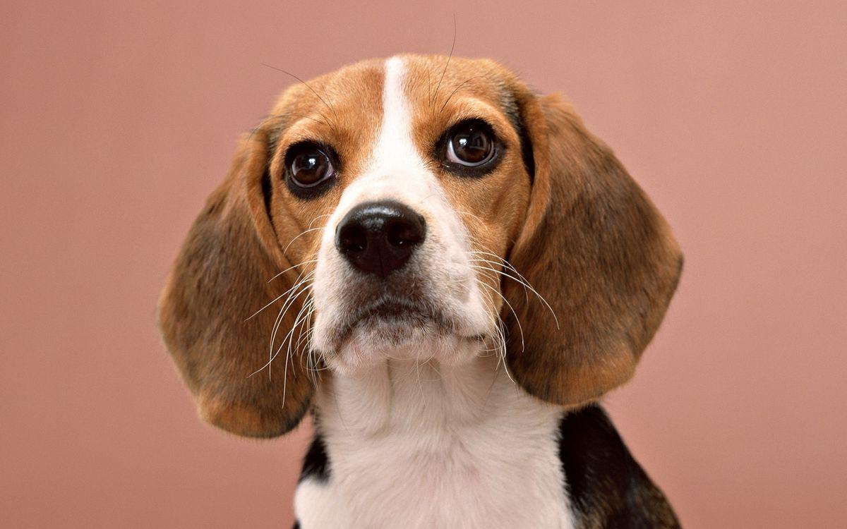 Обои пес, морда, уши картинки на телефон