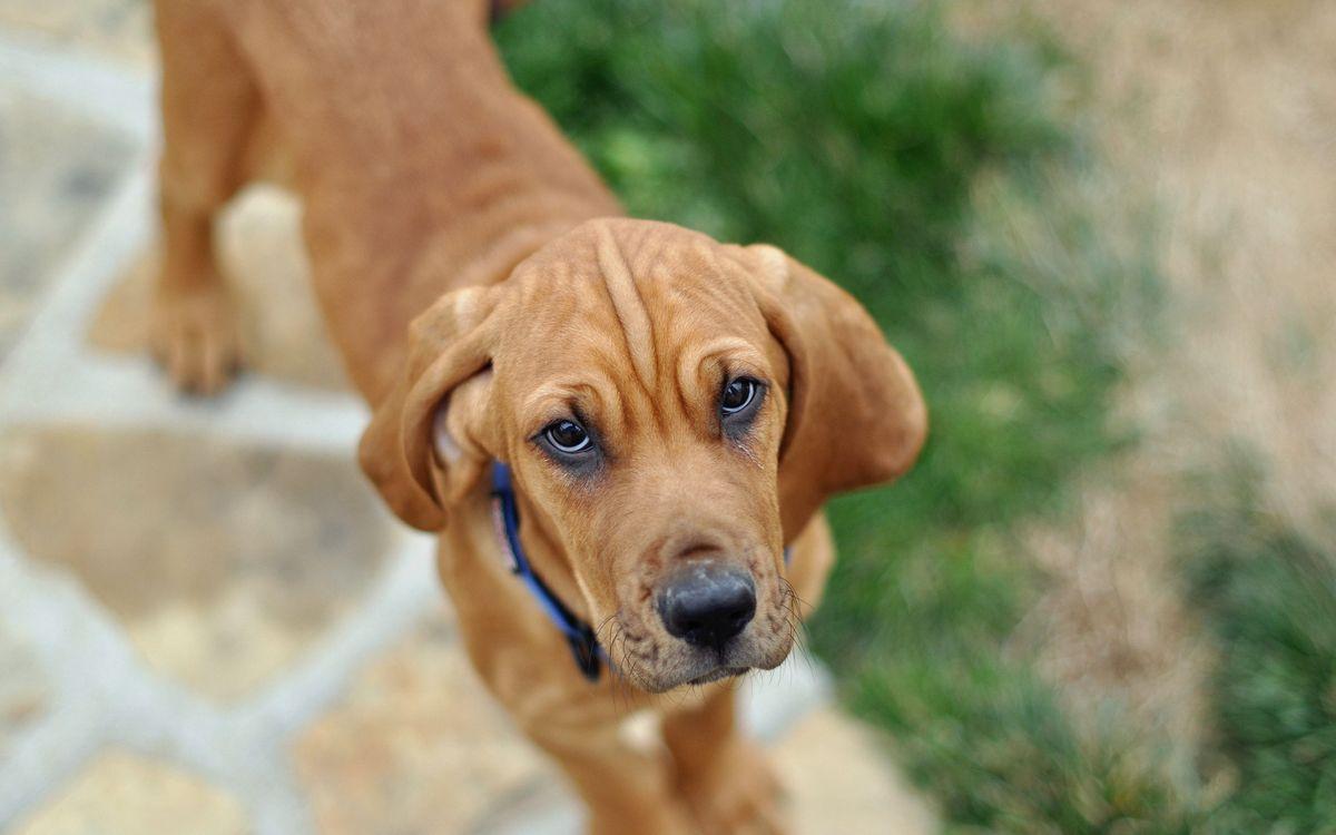 Фото бесплатно пес, щенок, глаза, взгляд, шерсть, порода, уши, фото, ошейник, нос, усы, рот, собаки, собаки