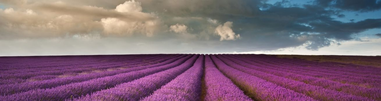Photo free field of lavender, refined, huge