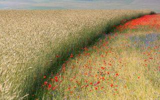 Обои рожь, ячмень, пшеница, колоски, солома. цветы, природа, цветы