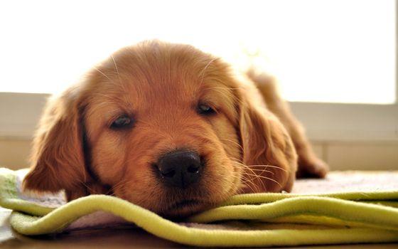 Фото бесплатно щенок, рыжий, усталость