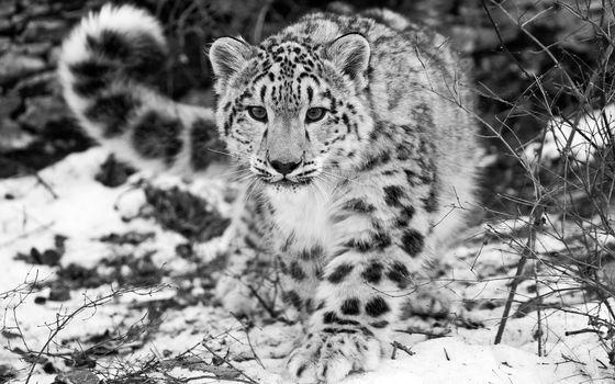 Photo free snow, leopard, snow leopard