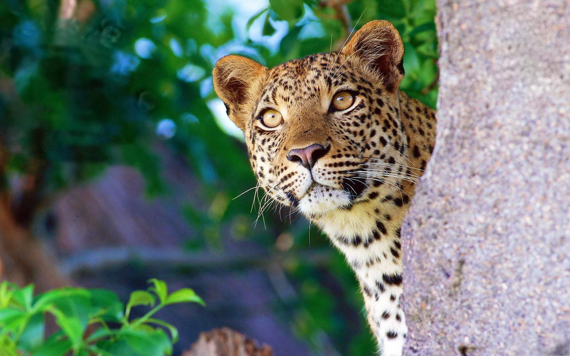 Ягуар хищник взгляд камни  № 3657930 без смс