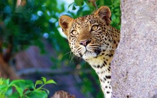 Бесплатные фото выгдядывает,любопытство,морда,леопард,камень