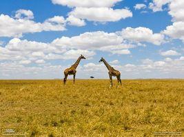 Фото бесплатно жирафы, national geographic, дерево, поле, трава, облака, горы, мужчины
