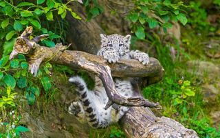 Бесплатные фото гепард, детеныш, котенок, малыш, ветка, каряга, дерево