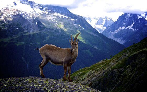 Фото бесплатно козел, рога, лапы