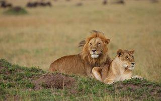 Фото бесплатно лев, грива, львица