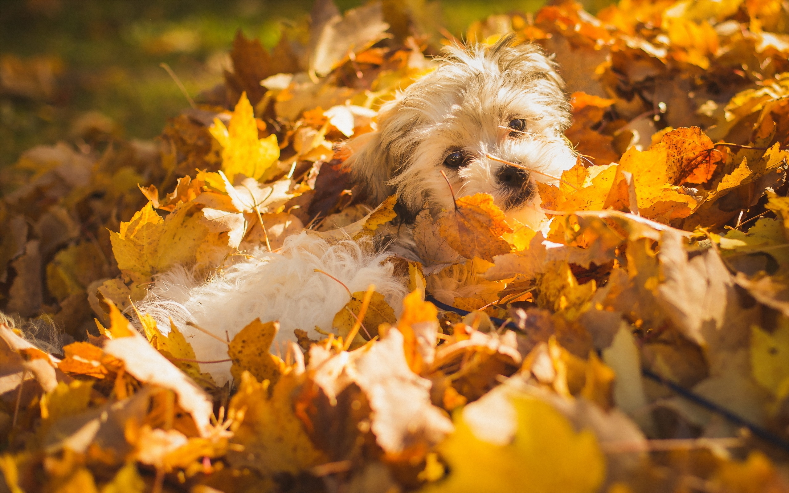 осенний листопад, собака, листья