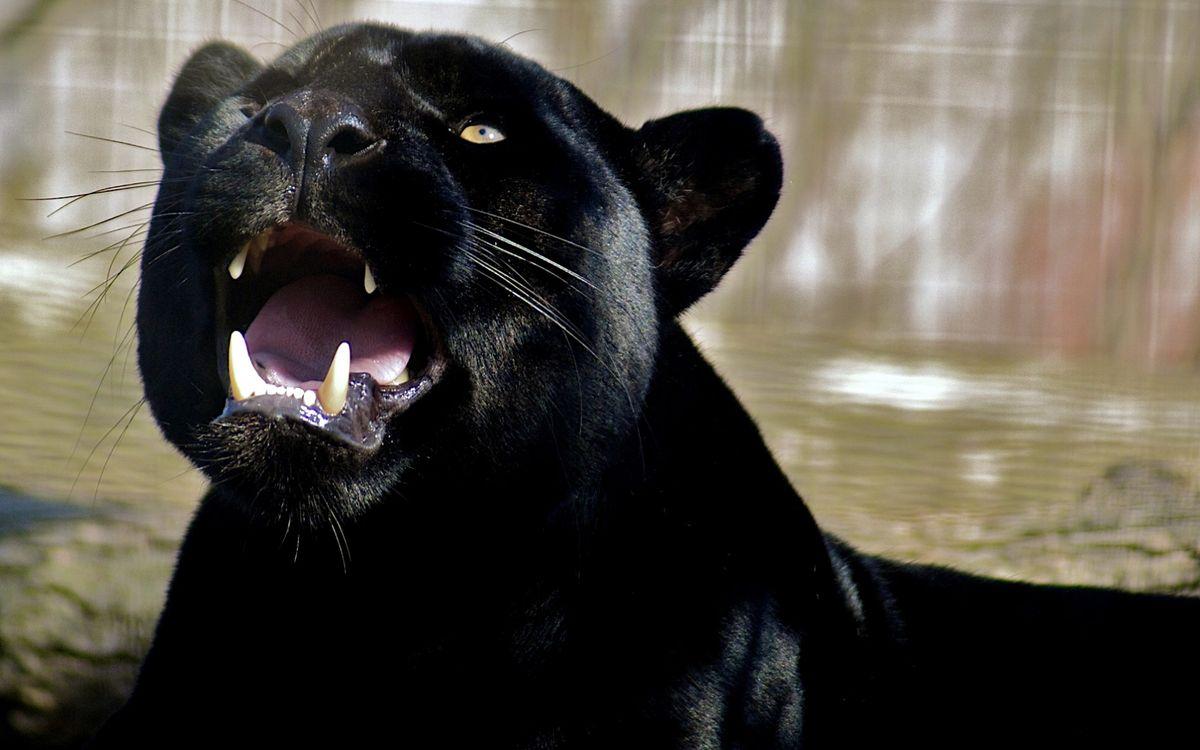 Фото бесплатно пантера, багира, черная, оскал, клыки, шерсть, кошки, кошки