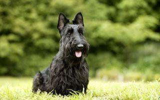Обои пес, порода, шерсть, голова, уши, нос, пасть, язык, лапы, парк, лес, собаки