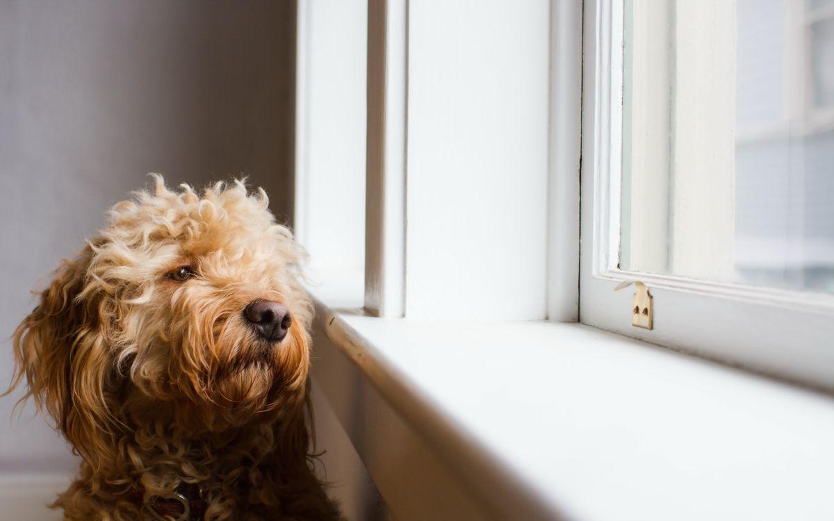 Фото бесплатно шерсть, нос, свет, подоконник, окно, взгляд, собаки, собаки
