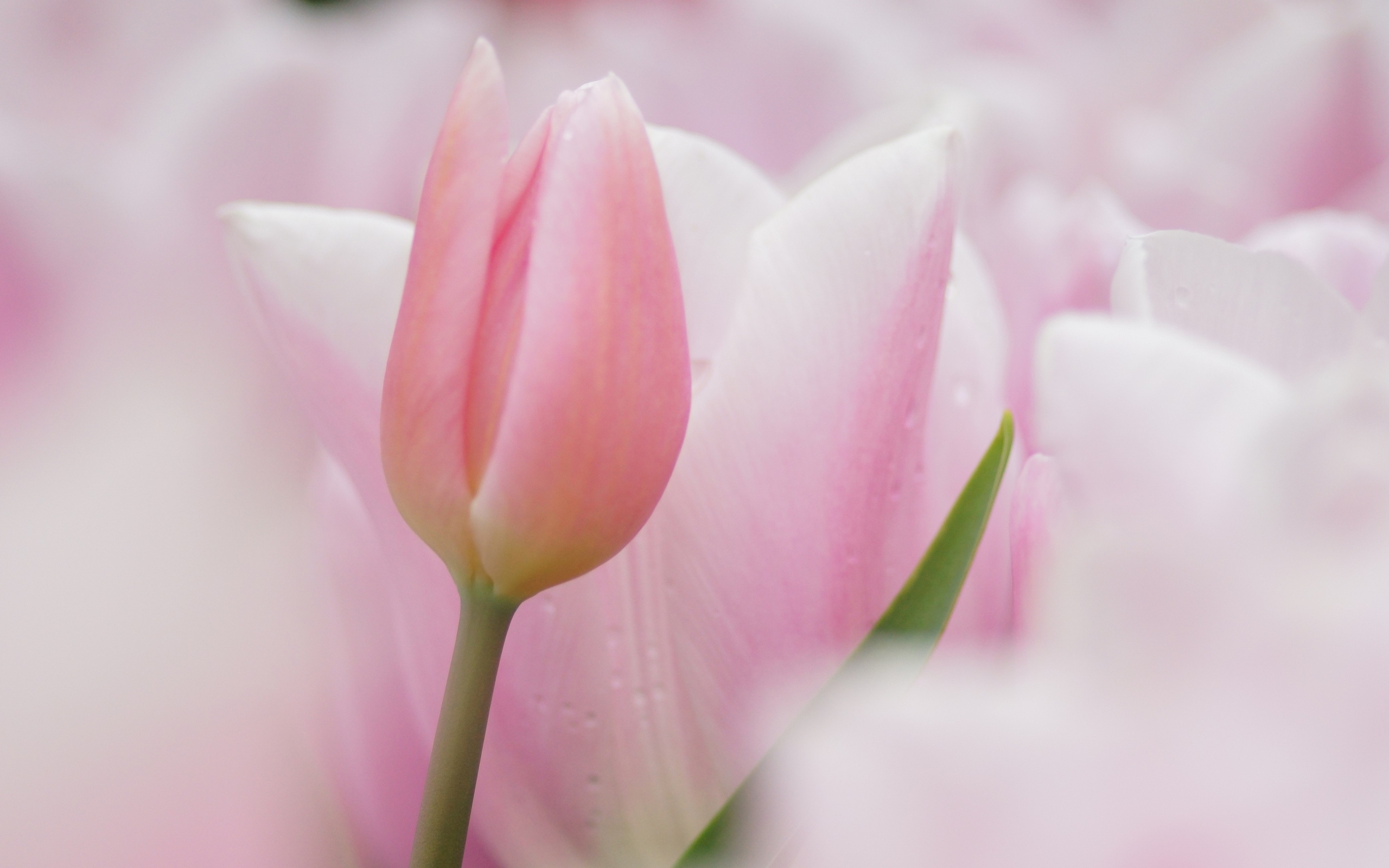 тюльпан, розовый, бутон