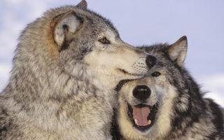 Photo free wolves, mouth, eyes