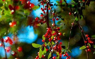 Обои ягоды, деревья, ветки, листья, плоды, урожай, лето, тепло, зелень, парк, лес, сад