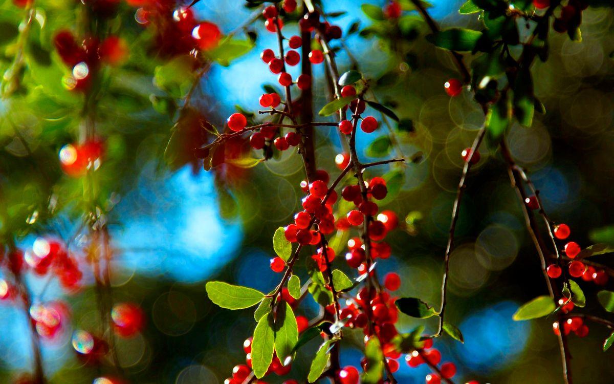Фото бесплатно ягоды, деревья, ветки, листья, плоды, урожай, лето, тепло, зелень, парк, лес, сад, природа, природа