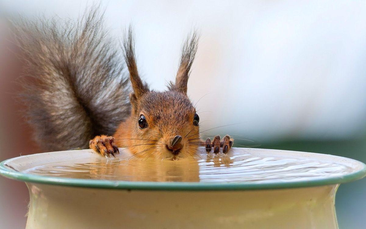 Фото бесплатно белка, пьёт, воду - на рабочий стол