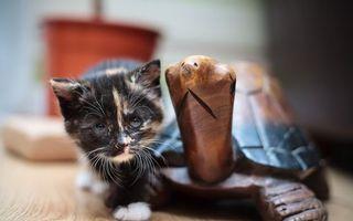 Бесплатные фото кот,котенок,шерсть,лапы,окрас,порода,усы