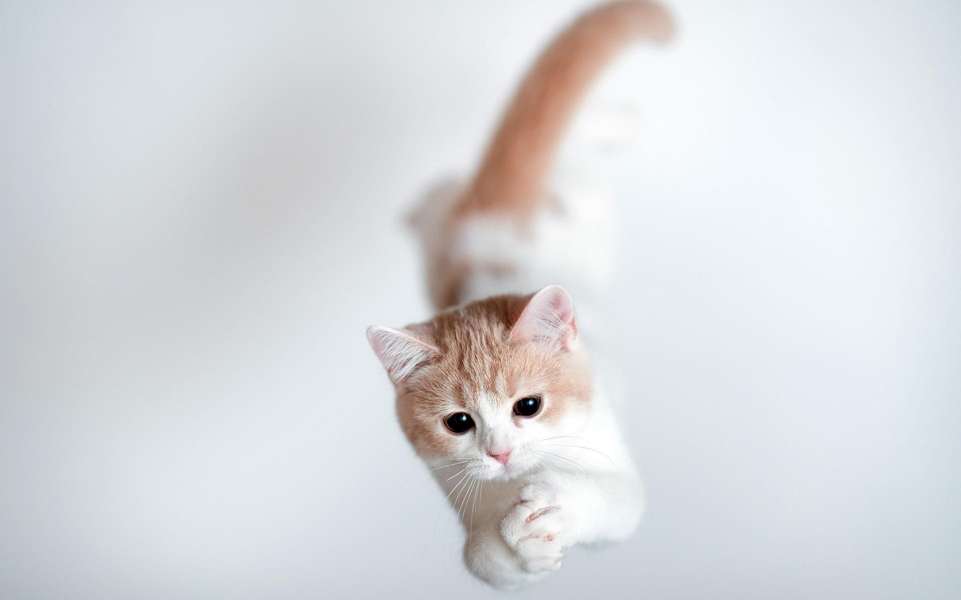 котенок, белый, рыжий