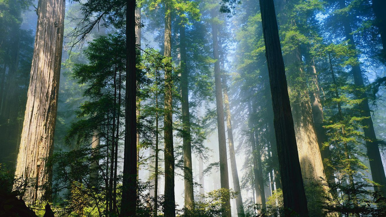 Фото бесплатно лес, деревья, туман, свет, стволы, кора, природа, природа - скачать на рабочий стол