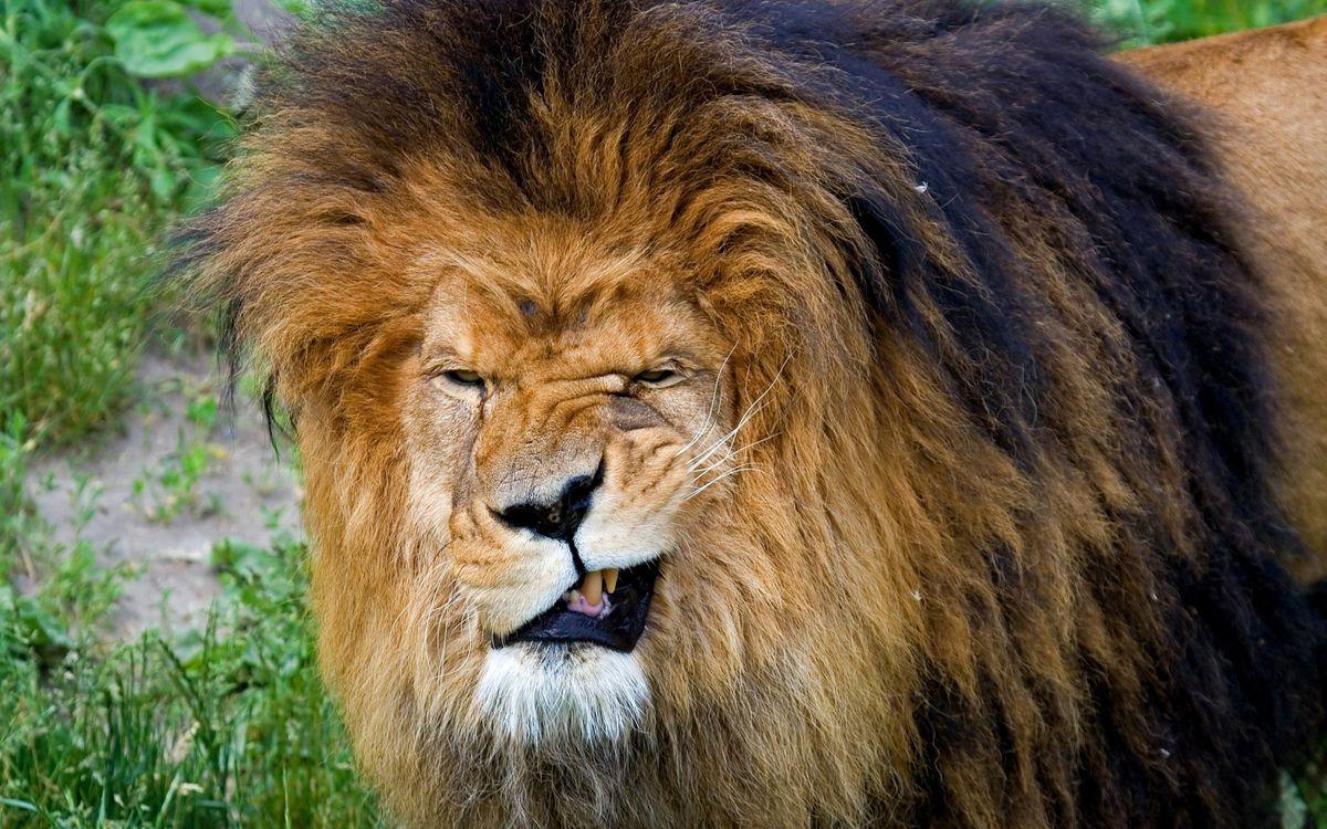 Фото бесплатно лев, морда, оскал - на рабочий стол