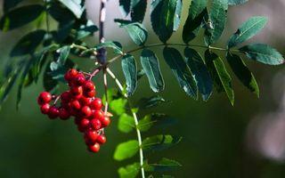 Обои рябина, ягоды, листья, ветка, дерево, зелень, природа