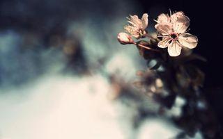 Фото бесплатно вишня, цветок, ветка