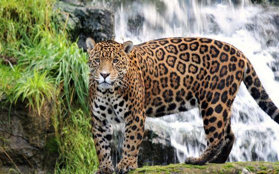 Photo free jaguar, plamistry, hickory